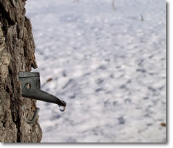Maple Sugar, maple sugaring, where to go in Massachusetts for maple sugaring