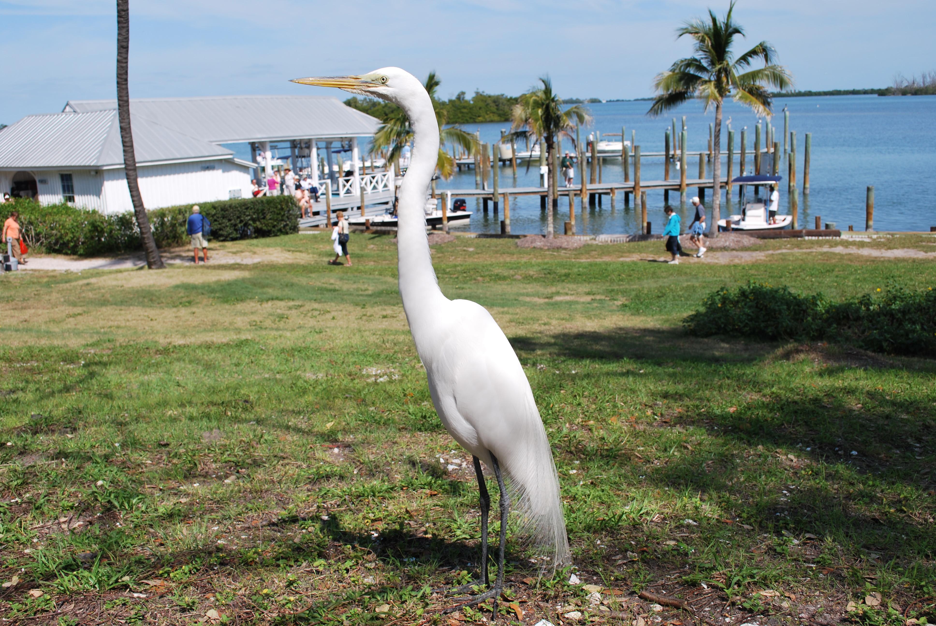 Great Egret, birds of Florida, Cabbage Keys,
