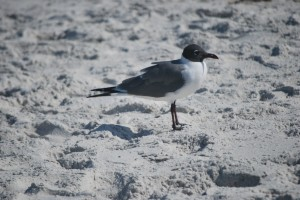 Laughing Gull, Birds of Florida, North Captiva, birds, birding, bird watching,