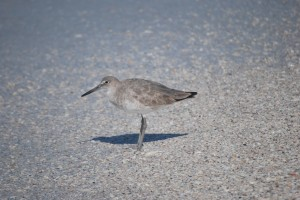 Willet, birds of Florida, North Captiva, birds