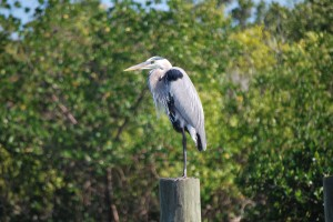 Great Blue Heron, birds of Florida, North Captiva