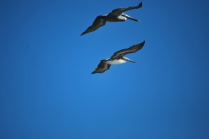 Brown Pelicans, birds of Florida, North Captiva birds,