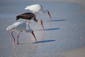 White Ibis, Glossy Ibis, birds of Florida, North Captiva, Florida, birds