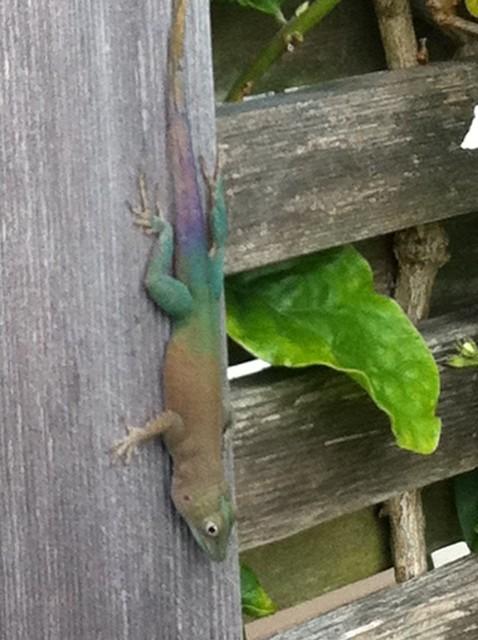 gecko, chameleon, gecko chameleon