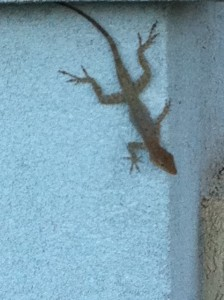 Florida, Gecko