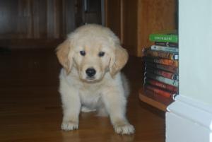 Golden Retriever puppy,