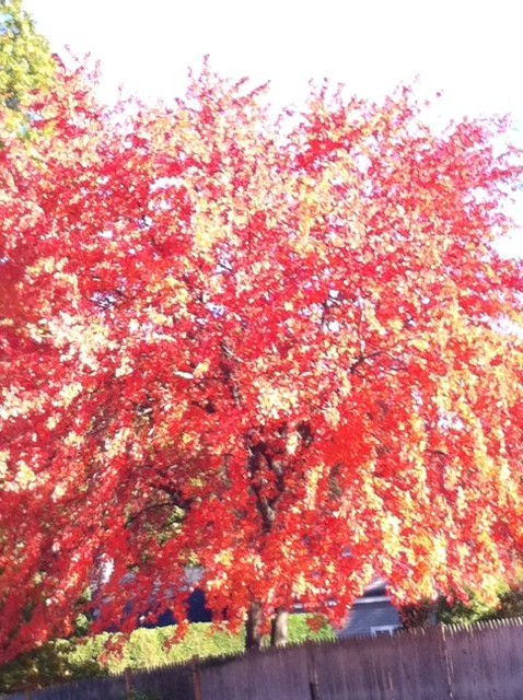 autumn leaves, maple tree changing color, New England trees, Fall colors in Bpston