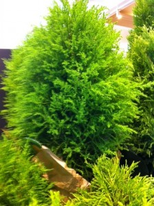 lemon cypress plant