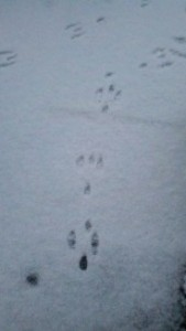 animal snow tracks,