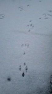 animal snow tracks,