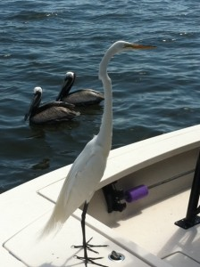 Egret in Florida, birds who are not afraid of people