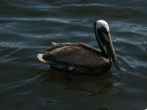 brown pelican, North Captiva Island, Florida