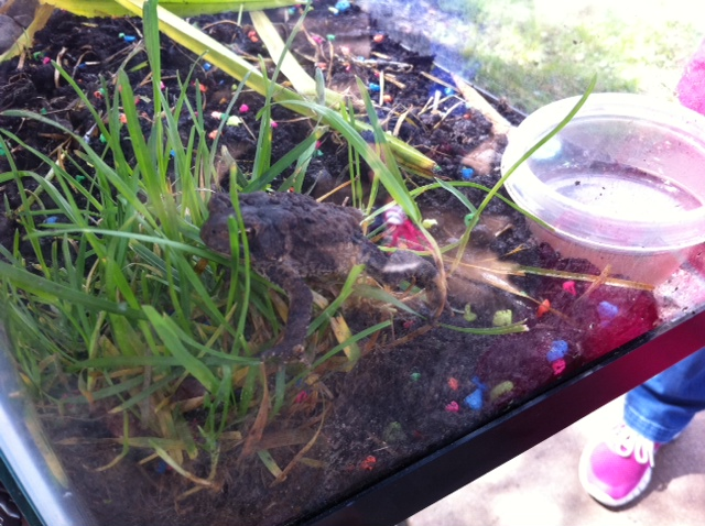 class pet, toads and baby chicks, perfect class pets