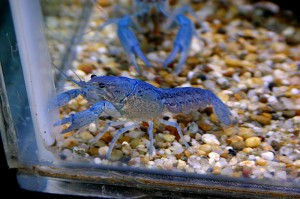 blue lobsters as class pet