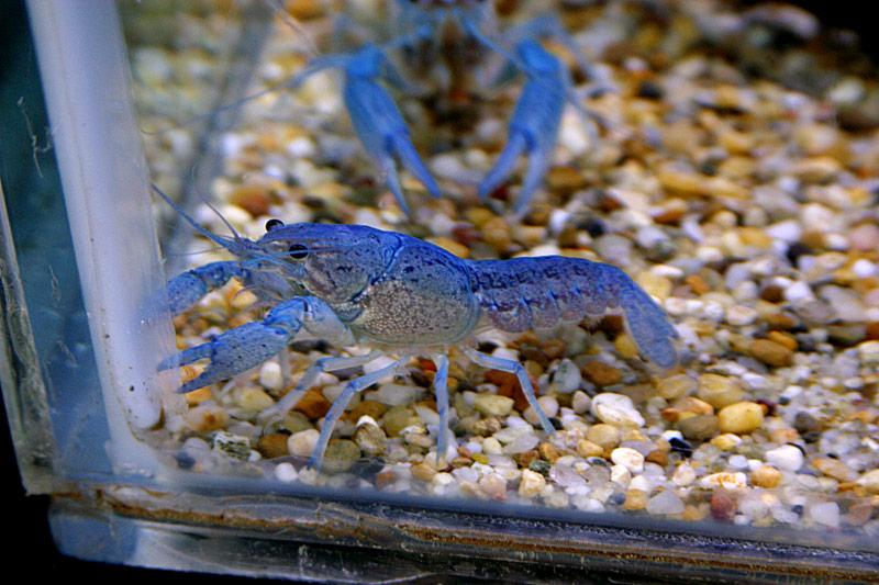 blue lobsters as class pet