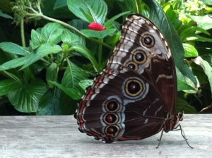 blue morpho butterfly, butterfly garden, MOS, Museum of Science Boston,