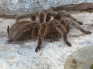 blonde tarantula, furless class pet ideas, class pet ideas without fur