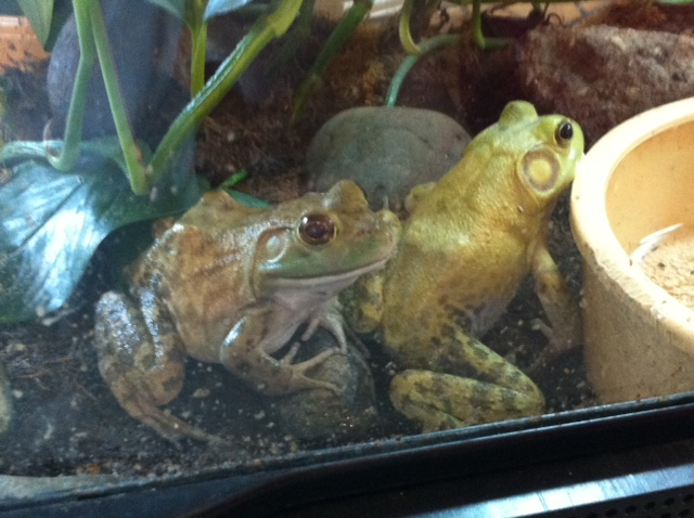 American bullfrog, furless class pet ideas, class pet ideas without fur