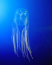 Box Jelly, most dangerous Jelly fish
