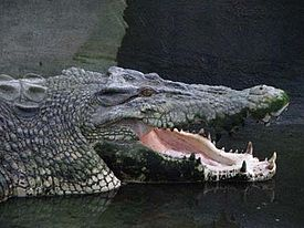 Estuarine crocodile, crocodile books for kids