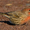 house finch, house finch eye disease