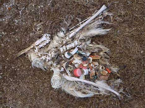 dead bird full of trash it ingested
