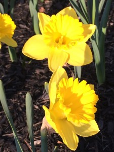 daffodils for Boston Marathon mile 18