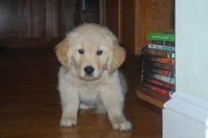 our golden retriever puppy