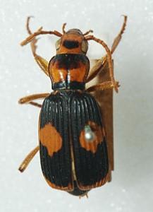 bombadier beetle