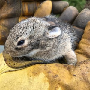 baby cottontail bunny in our yard