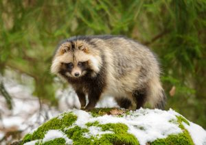 Tanuki Japanese raccoon dog