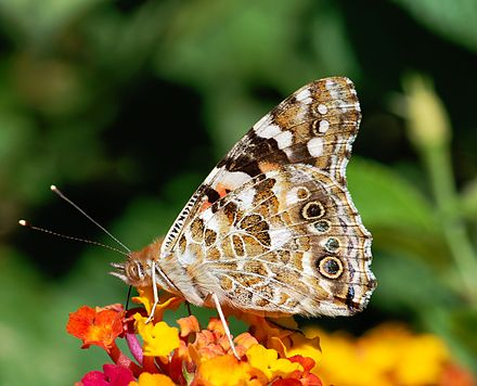 Underside of Painted Lady Butterfly