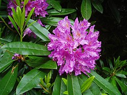Rhododendron to attract hummingbirds