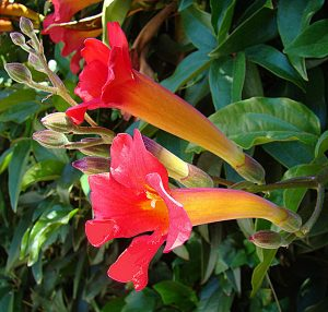 Trumpet Vine to attract hummingbirds