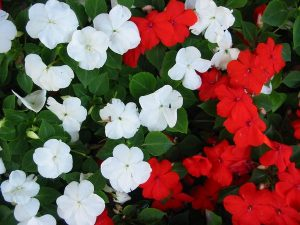 Impatiens to attract hummingbirds