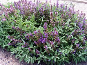Salvia (Sage) to attract hummingbirds