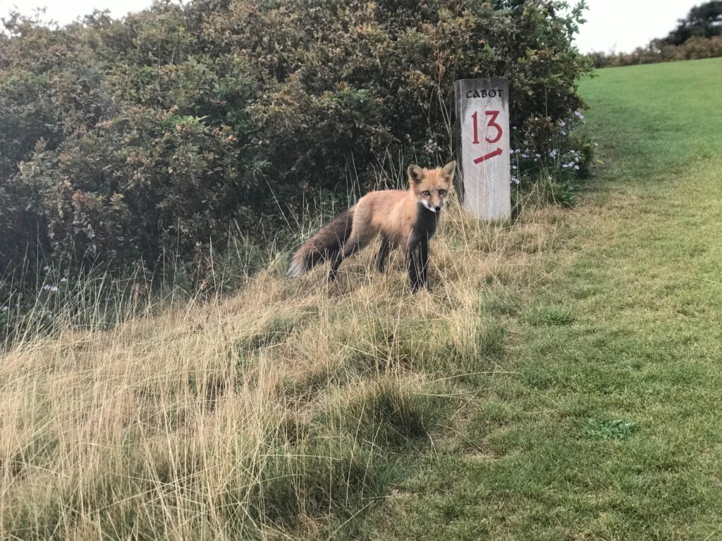 cabot links wild fox kit